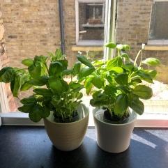 My little basil pots